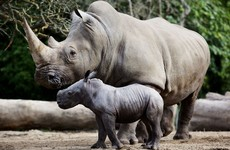 Dublin Zoo confident in its security as European zoos take extra steps to protect rhinos
