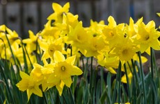 Poll: Do you plan to do something for Daffodil Day?