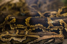 Farmer's body discovered inside giant python in Indonesia