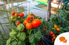 GIY: Growing tomatoes successfully and a pitta pocket recipe