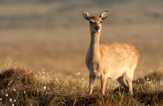 Anger over calls for 50,000 deer to be culled in Wicklow
