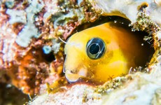 Heroin-like venom from tropical fish could lead to new pain relief