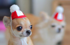 10 chihuahua Instagram accounts that will instantly ease your Sunday night Fear