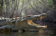 Man snorkels headfirst into crocodile, escapes with only minor injuries