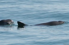 Tiny Mexican porpoise on the brink of extinction can only be saved by captivity