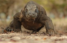Tourist suffers severe bite from Komodo dragon after 'ignoring warnings about getting too close'
