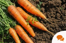 Gardening column: Growing carrots in the veg patch and roasting radishes in the kitchen