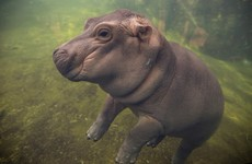 It's impossible to not fall in love with this Twitter-famous baby hippo