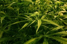 Gardaí seize 'up to 100 cannabis' plants from Laois house