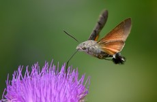 Irish people reporting sightings of hummingbirds that are actually moths