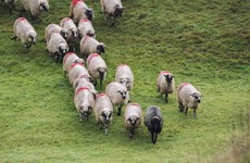 There has been a spate of attacks on sheep near Newry in the past three weeks