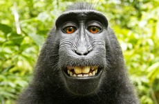 'Where does it end?': Selfie-taking monkey at centre of copyright lawsuit
