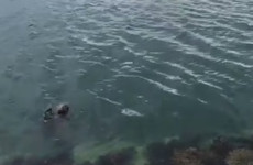 There is a seal in Howth that waves at people when it's thrown some food and it's just delightful