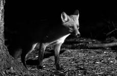 'No plans to ban night-time shooting' for hunters and predator control