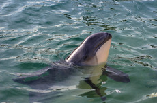 Fears for Dublin Bay porpoises as work starts on dredging Port of one million tonnes of material