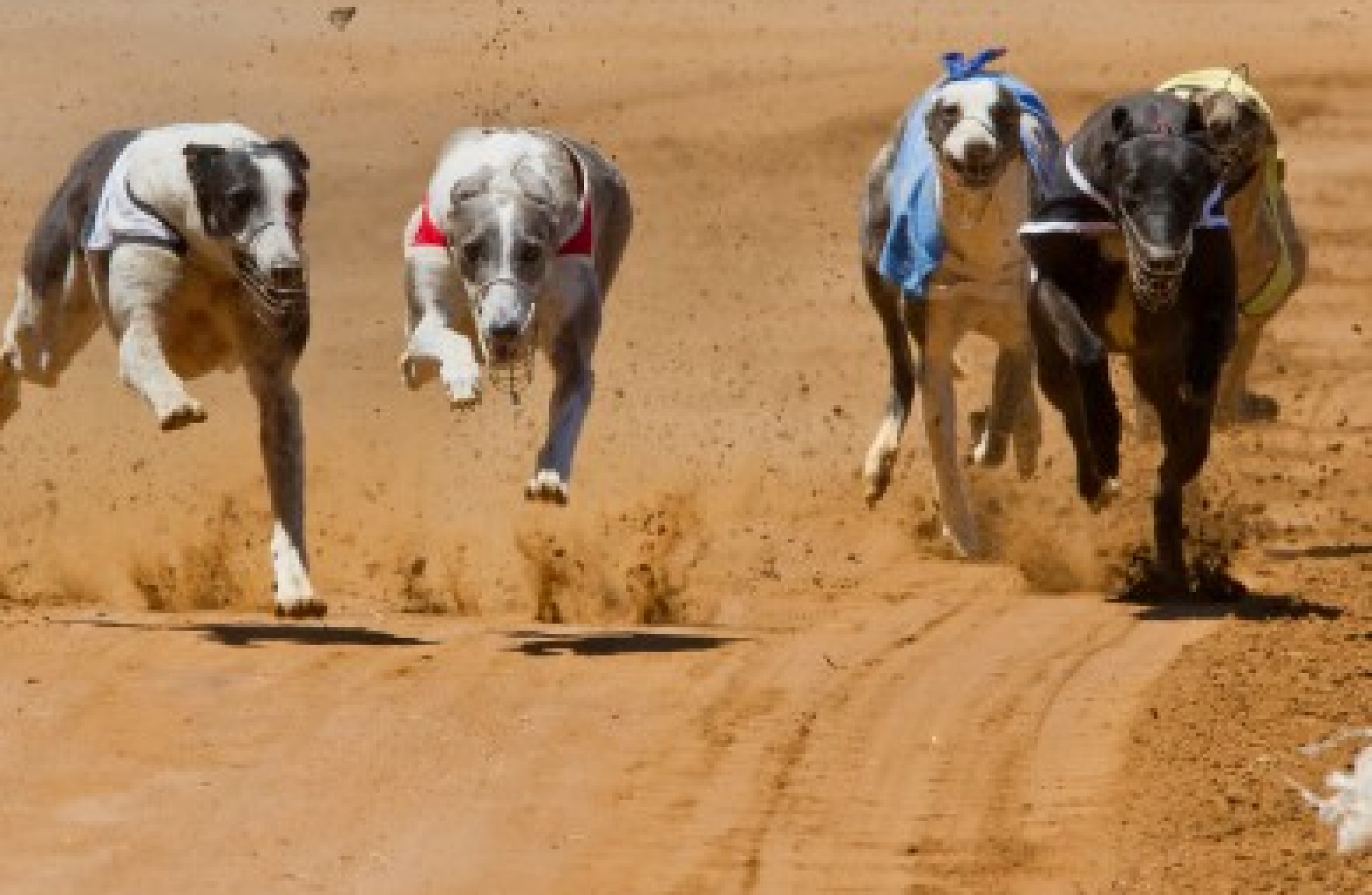 Champion Greyhound Tests Positive For Banned Substance