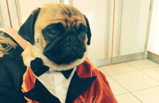 The pug from Kingsman wore a suit to the sequel's premiere last night and stole the show