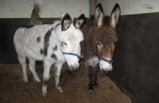 ISPCA rescues five donkeys in one week