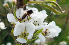 The Irish honeybee was thought to be extinct. But a scientist found them in 300 hives