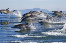 Whales and dolphins have tight-knit social groups and 'human-like' cultures and societies