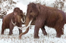 Scientists have solved the mystery of why so many mammoth fossils are male
