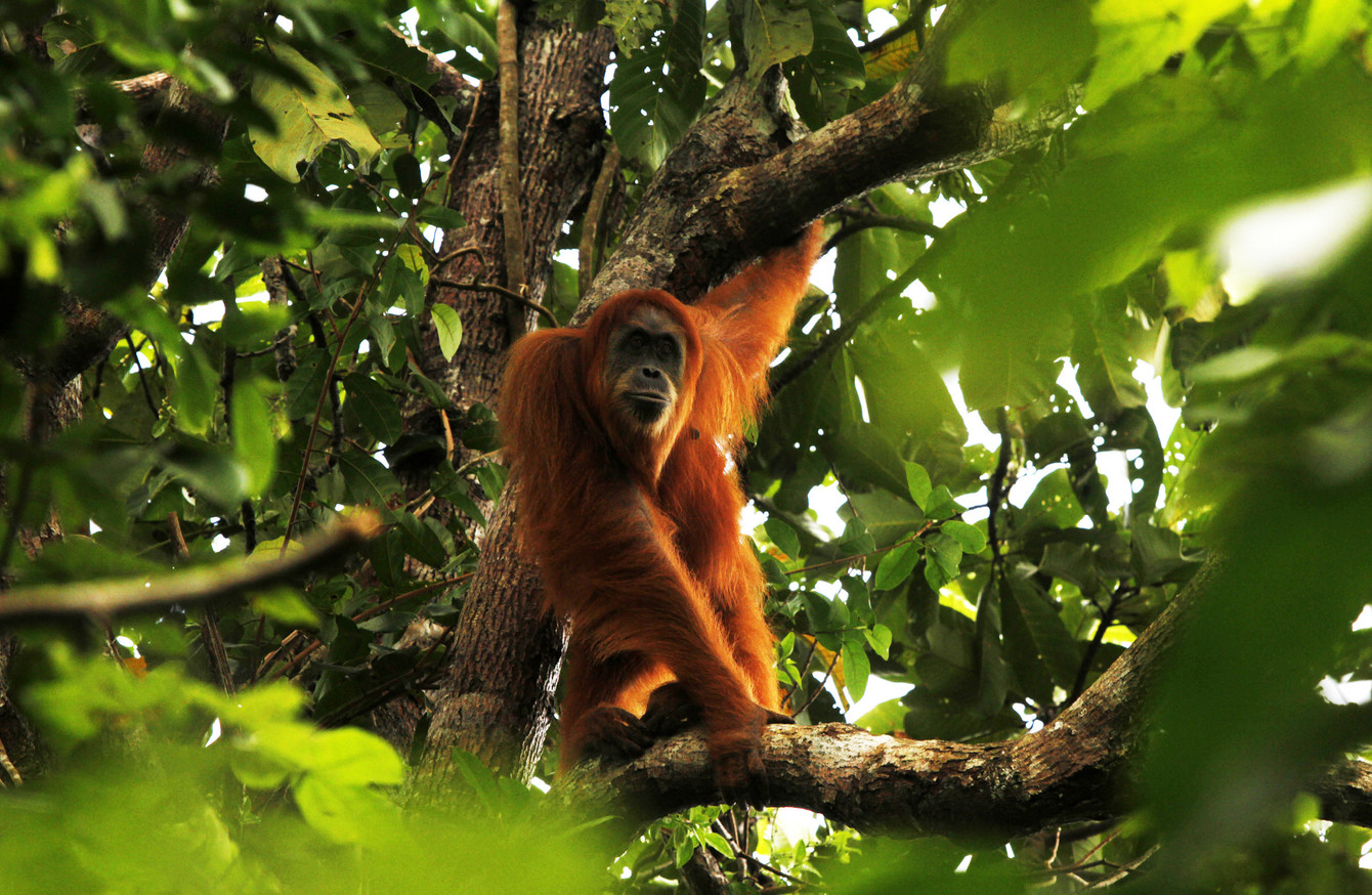Orangutan Sumatera New species of ...