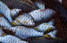 'The marine equivalent of fracking': Europe to legalise controversial pulse fishing