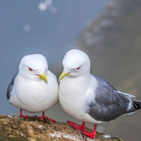 This tiny gull likes to nest along Ireland's cliffs. It's facing global extinction