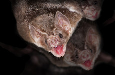 Vampire bat rabies kills hundreds of cows a year as it spreads across Peru