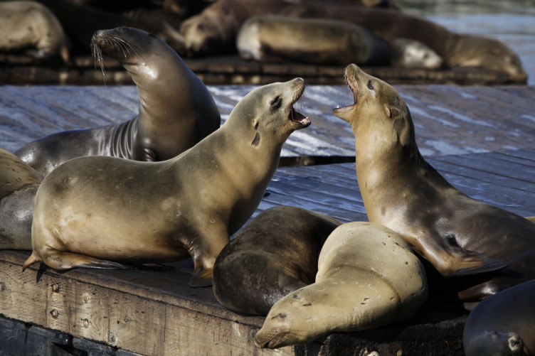 File photo of sea lions barking at each other at Pier 39 in San Francisco