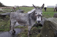 'Sheer neglect': ISPCA investigating donkey found with 'horrific head injuries'
