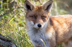 Gardaí investigate incident in which hunt dogs allegedly killed fox in front garden