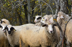 'They don't respect the rules': A flock of Romanian sheep are nibbling away at US security