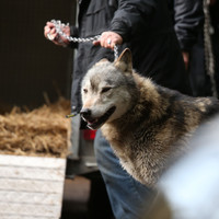 School lockdown lifted after capture of escaped wolf in UK