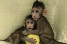 Ethical questions raised after these monkeys were cloned in China