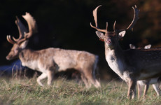 State-hired marksman shot over 200 deer in the Phoenix Park in the last two years