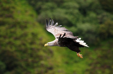 White-tailed sea eagle found dead in Tipperary had bird flu