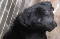 Owner receives lifetime ban from having a dog after labrador found in 'cruel' conditions