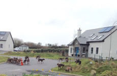'It was gruesome': Fox torn apart by hunt hounds in the middle of Kerry housing estate
