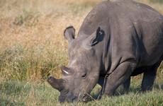 Last male northern white rhino dies in Kenya