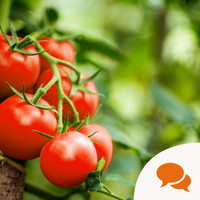 GIY: Secrets to growing your own juicy tomatoes