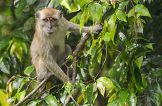 In Malaysia you can send your macaque to a school where it learns how to pick fruit
