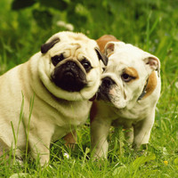Irish vets call for ban on advertising involving 'flat-faced' dogs