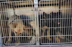German Shepherd puppies seized at Dublin Port
