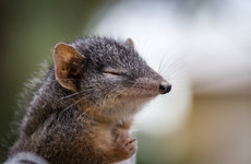 Too much sex puts tiny marsupials on endangered list