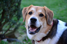 Number of dogs destroyed in Irish pounds down 40%