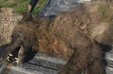 Mystery wolf-like creature shot dead in US leaves experts scratching their heads as to its identity