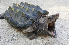 US teacher faces jail time after allegedly feeding sick puppy to snapping turtle