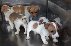 'It's illegal and they'll be seized': DSPCA condemns transport of puppies without passports to UK