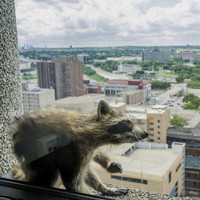 Skyscraper-scaling raccoon finally makes it to the top, but its fate remains unknown...